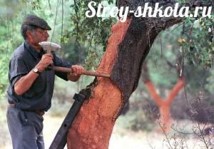 Пробку собирают с дерева