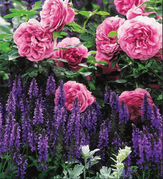Клумба с шалфеем и розами.