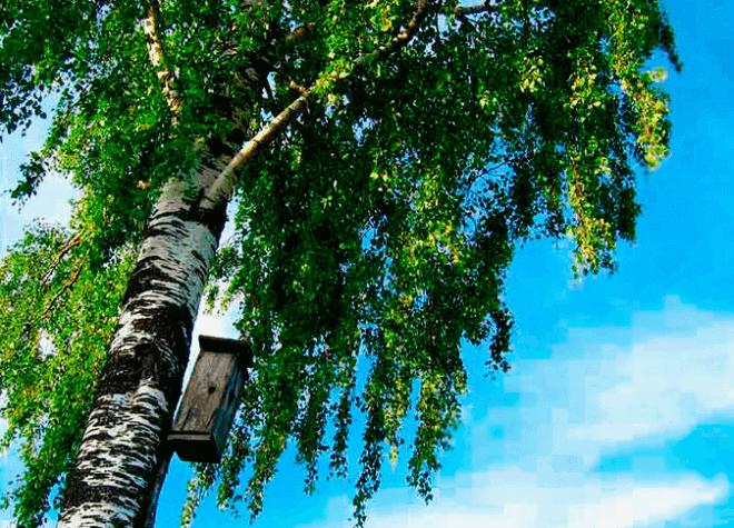 Береза плакучая – лучшее дерево для заготовки правильных веников для бани