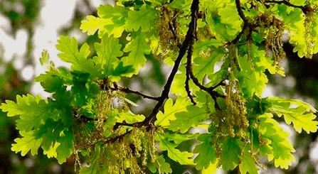 Веточка дуба – прекрасное сырье для целебных дубовых банных веников