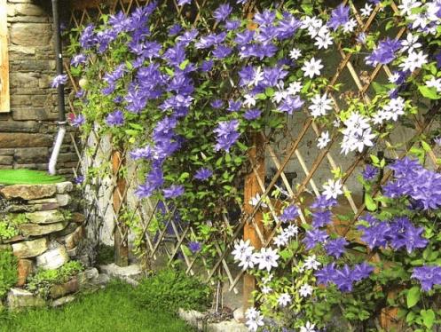 Решетчатая шпалера, украшенная цветущими растениями